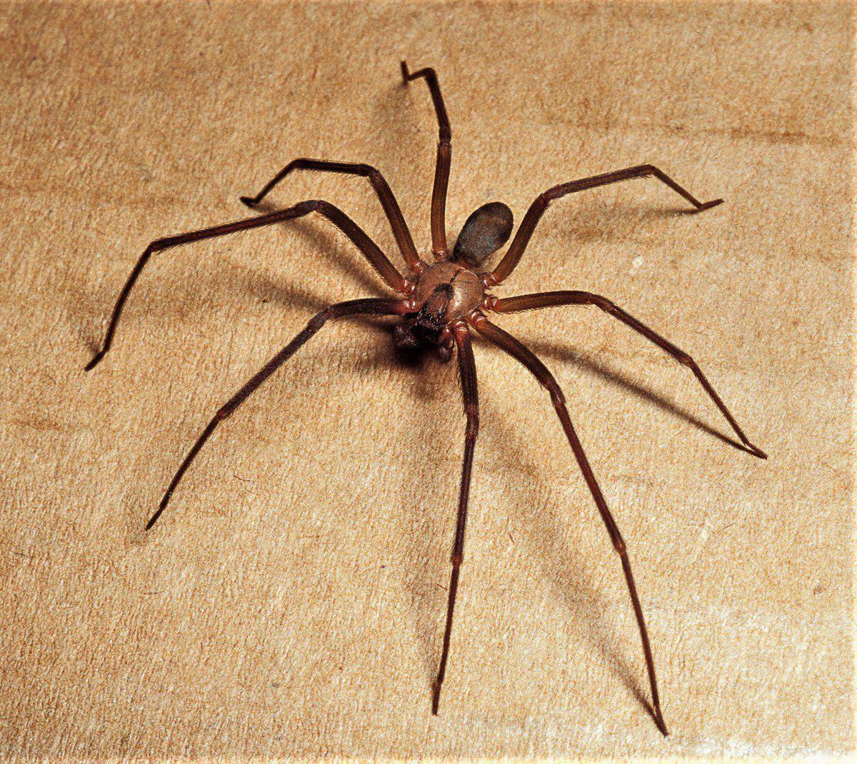 Brown recluses Venomous spiders common here, but little ...
