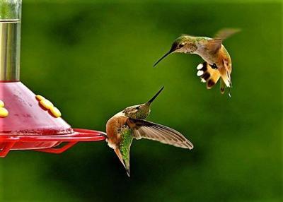 Hummingbird clash at feeder