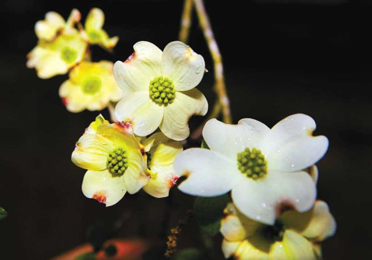 Deciphering The Dogwood The Legend And Lore Local News