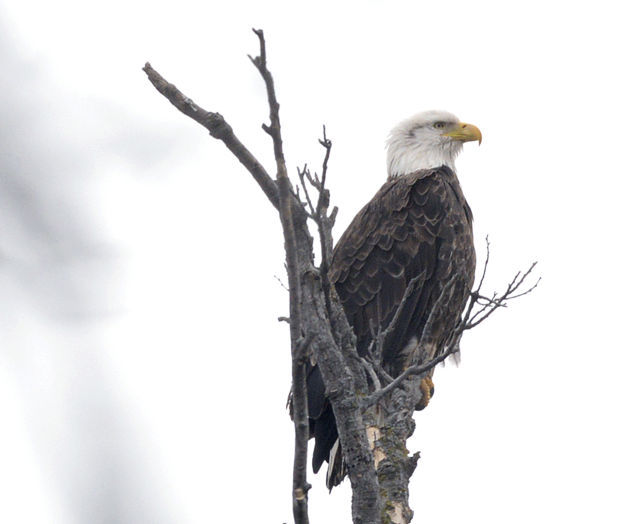 Injured Bald Eagle Delays Dc Rush Hour Mute Will Be Euthanized