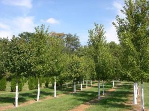 Rows & Rows of Nursery Grown Trees!