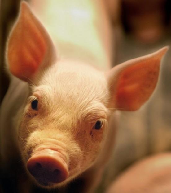 Family pork farm