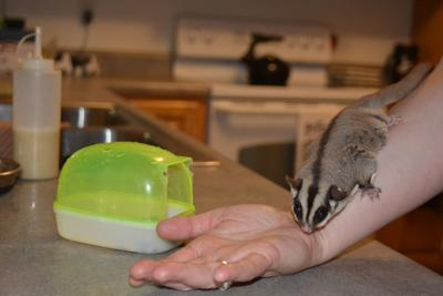 Sweet as sugar: Exotic animals gain popularity, but owners, experts advise researching before you adopt or buy