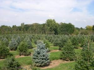 More Evergreen Trees