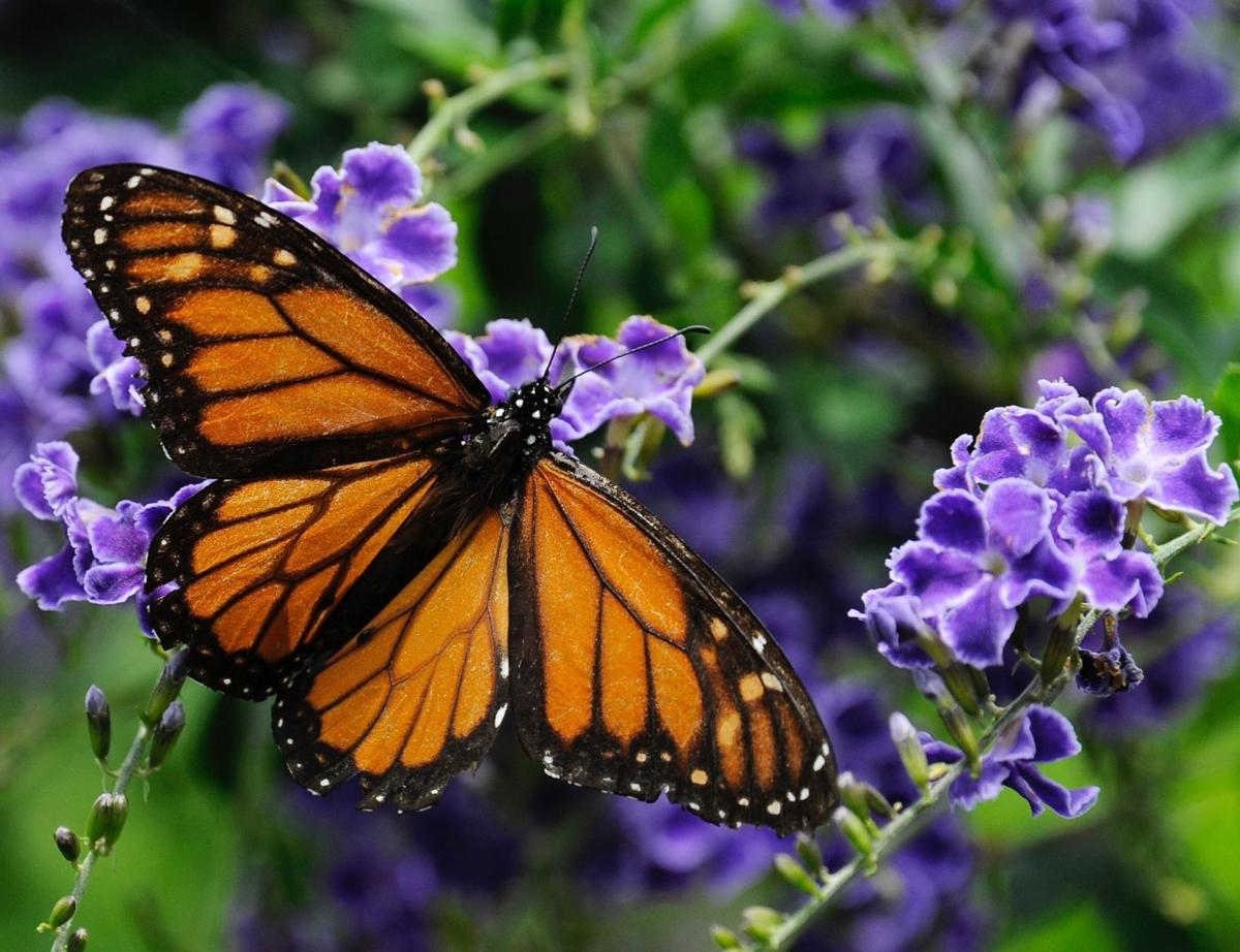 Illinois working to boost monarch butterfly population ...
