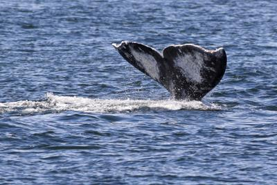 Why are gray whales dying off West Coast?