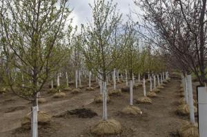 Springtime - Rows of Trees
