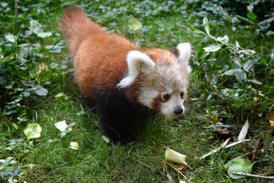Say aww: Red panda gives birth at Miller Park Zoo