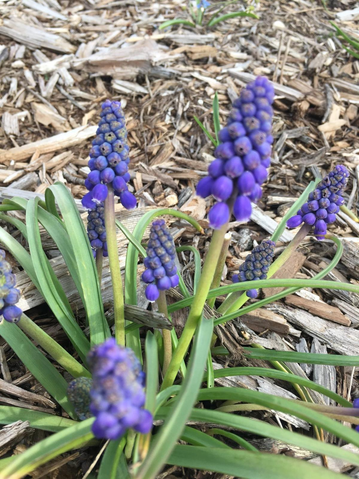 Allsup debunking spring bulb myths home and garden pantagraph grape hyacinth in spring mightylinksfo
