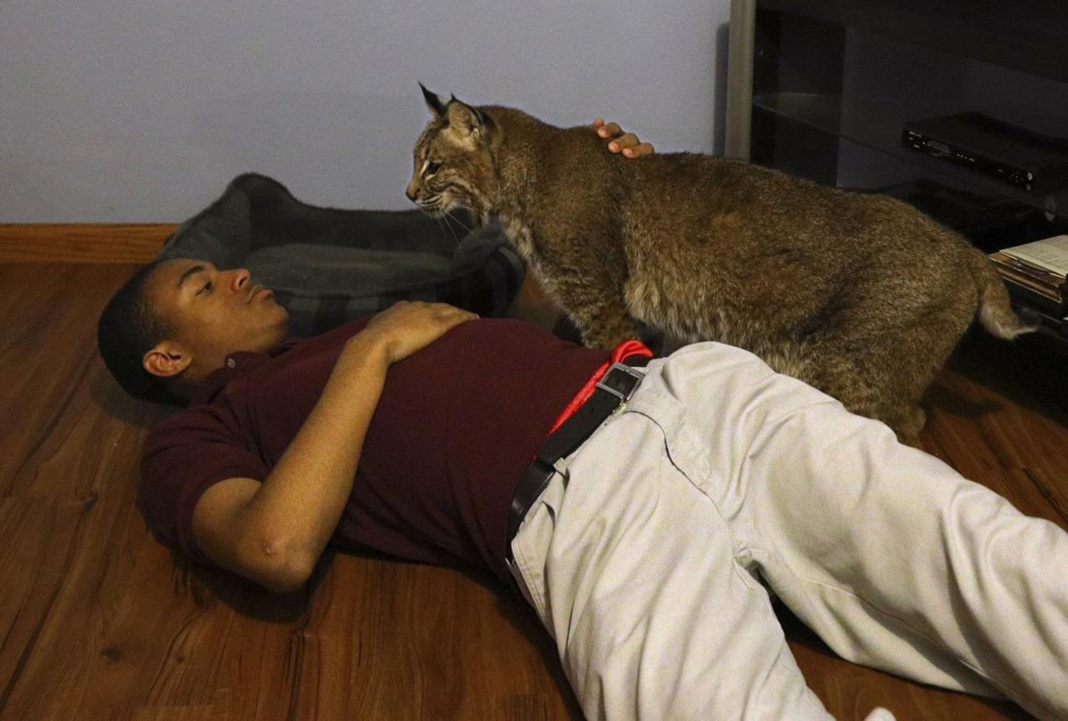 Capone the bobcat returns home