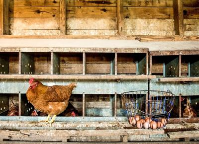 Photo story: Free-range chickens ensure freshness and flavor
