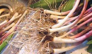 Chefs hungry for wild leeks