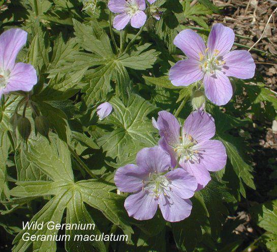 Native wild geranium