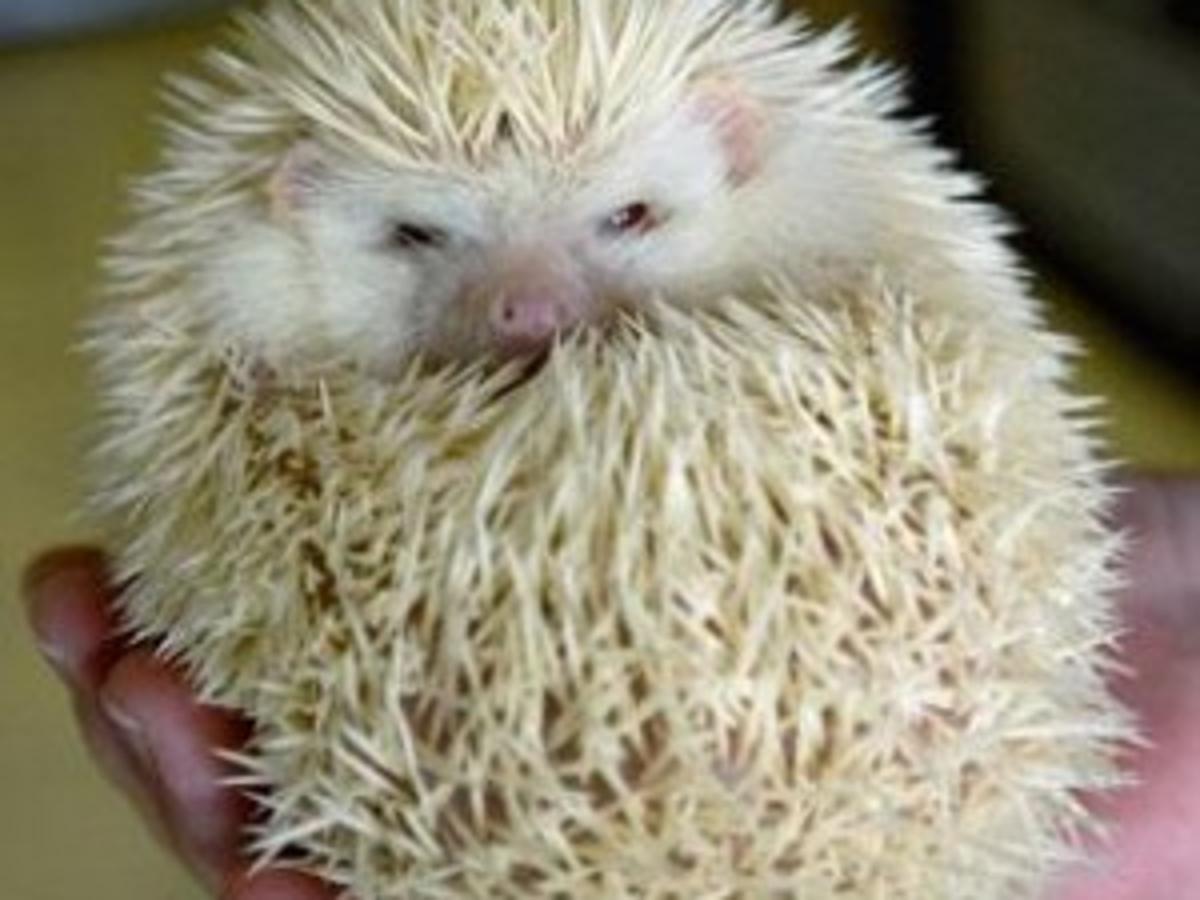 Mansfield Woman Breeds Hedgehogs News Pantagraph Com
