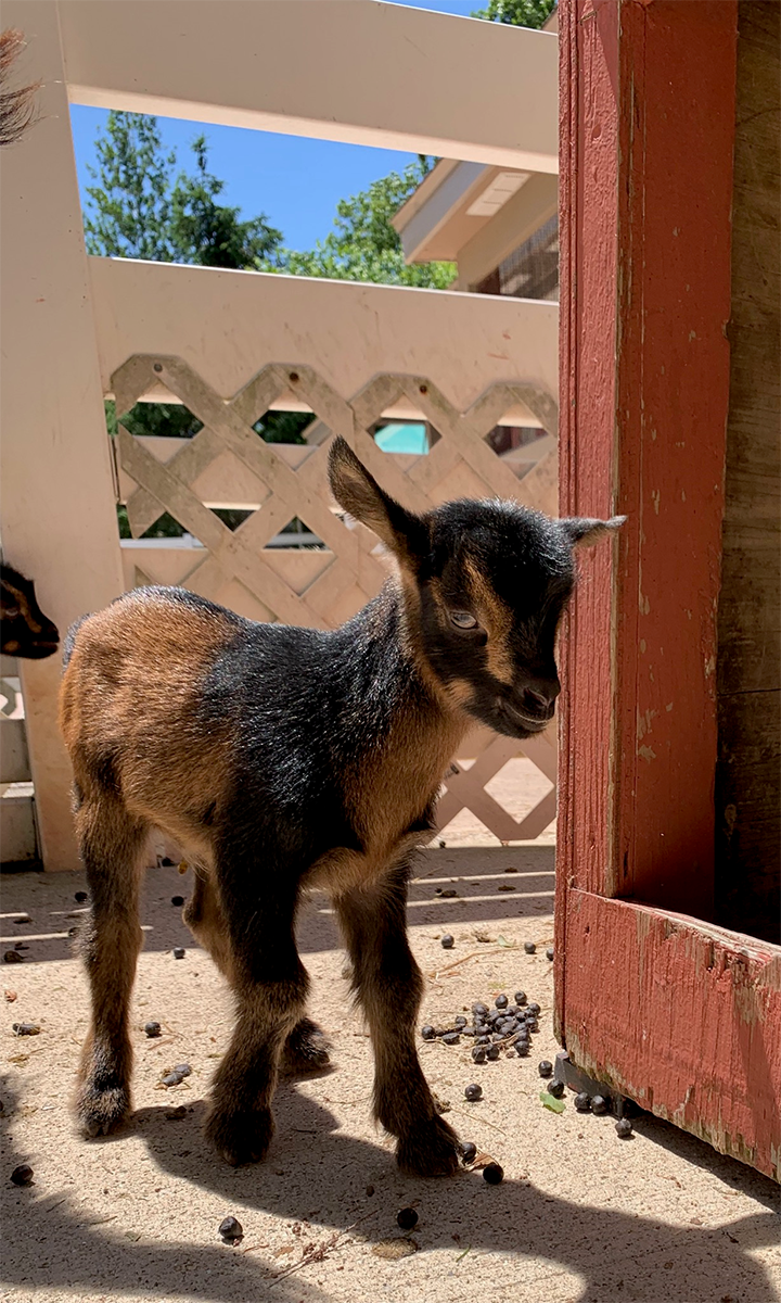 Miller Park Zoo Baby Goats 2.png