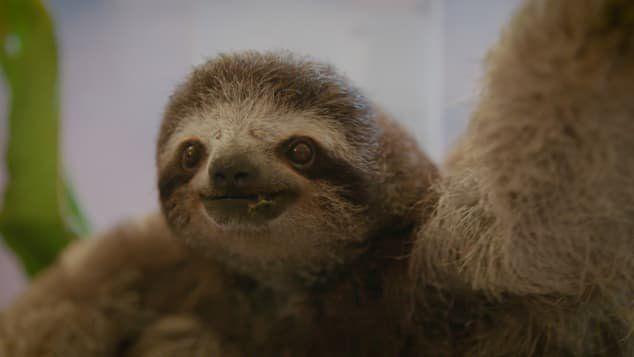Costa Rica sanctuary still saving sloths after quarter of a century