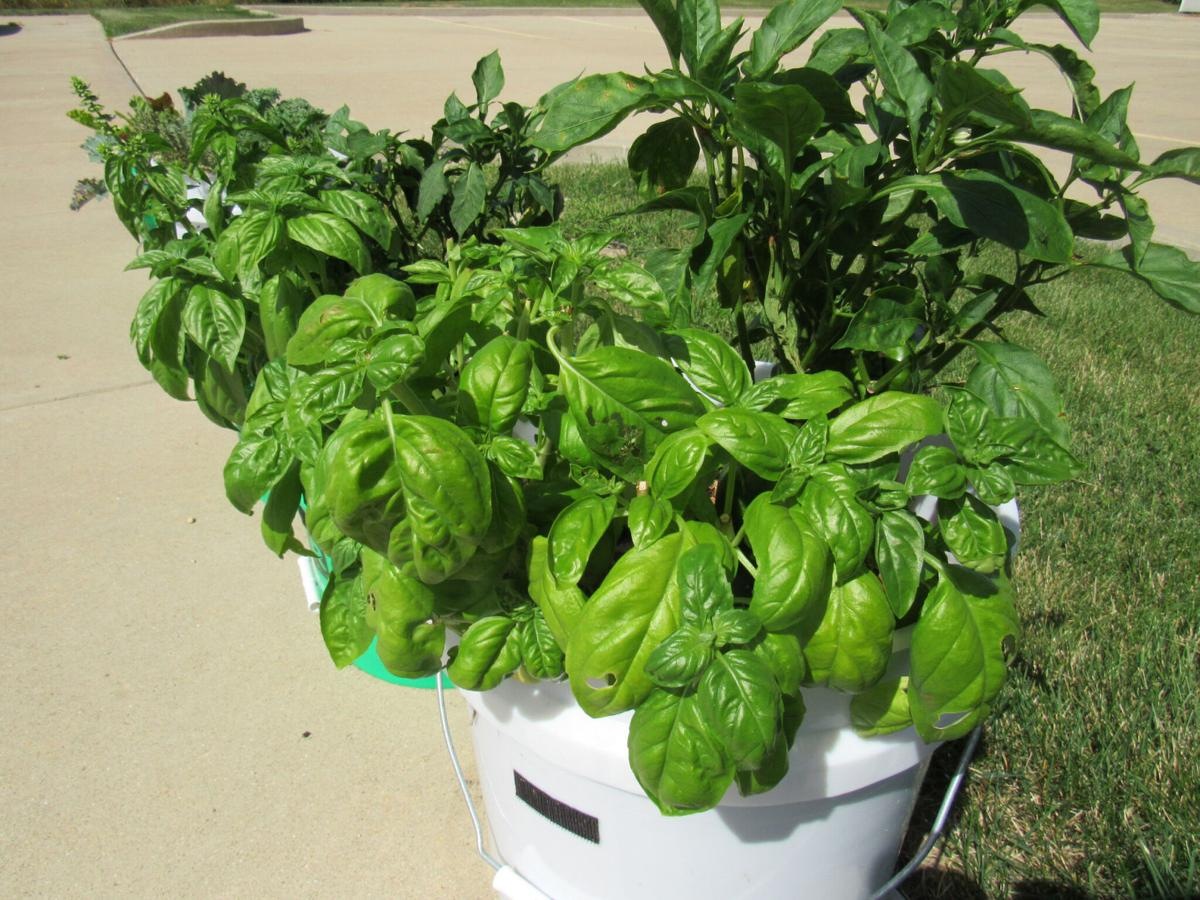 peppers and basil in bucket garden.jpg