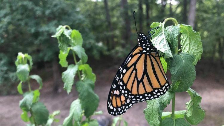 COATES: Life lessons from monarch butterflies