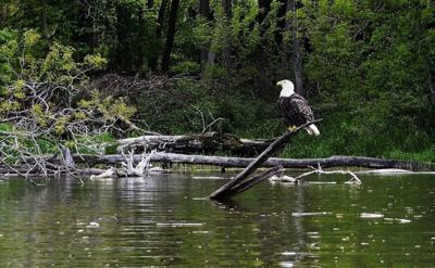 Just outside Bloomington, eagles fly, otters play