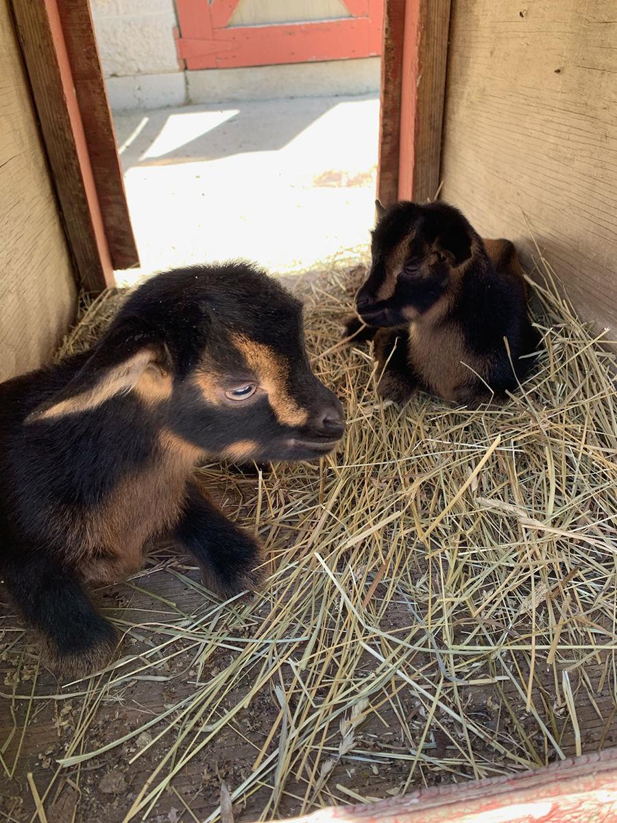Miller Park Zoo Baby Goats 1.jpg