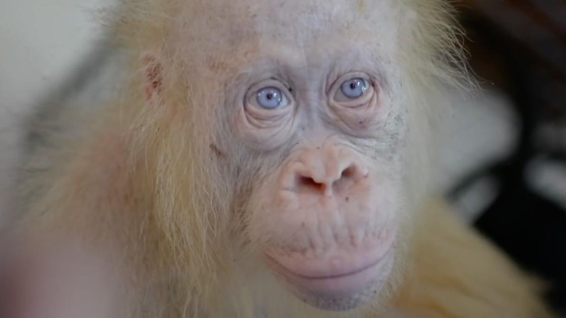 Watch Now: Meet the world's only known albino orangutan, and more of today's top videos
