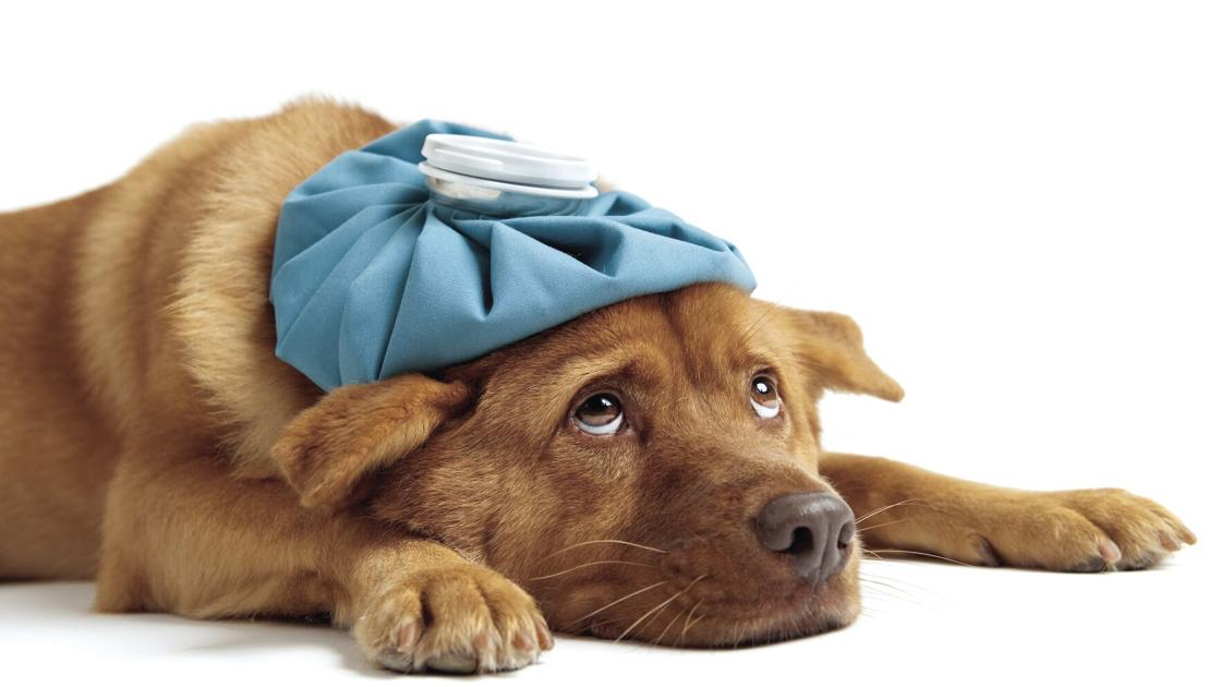 First aid for Fido: How dog owners can administer care