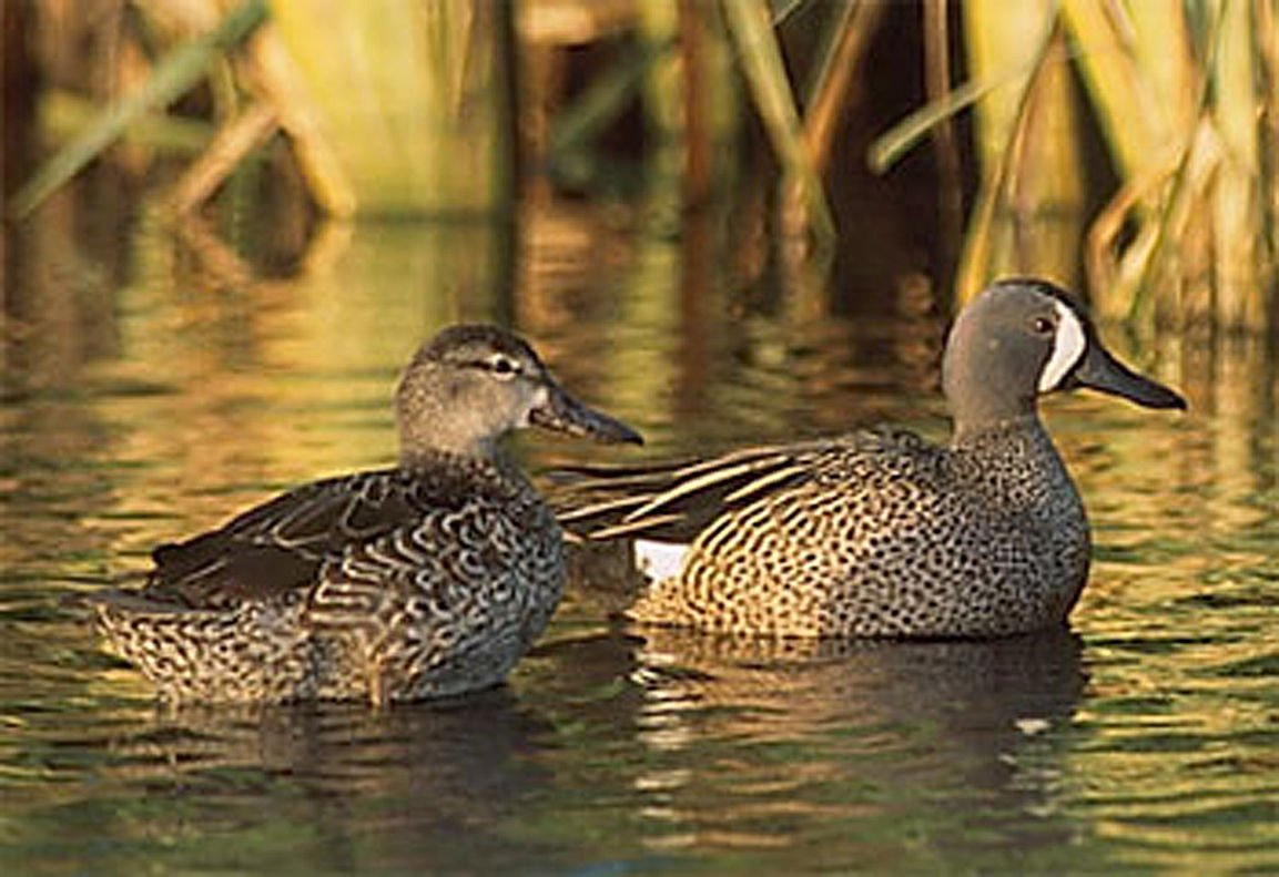 Early Season A Gamble For Teal And Wood Ducks Outdoors