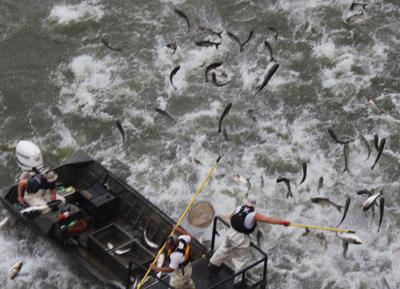 Officials: Part of the problem with Asian carp is its name