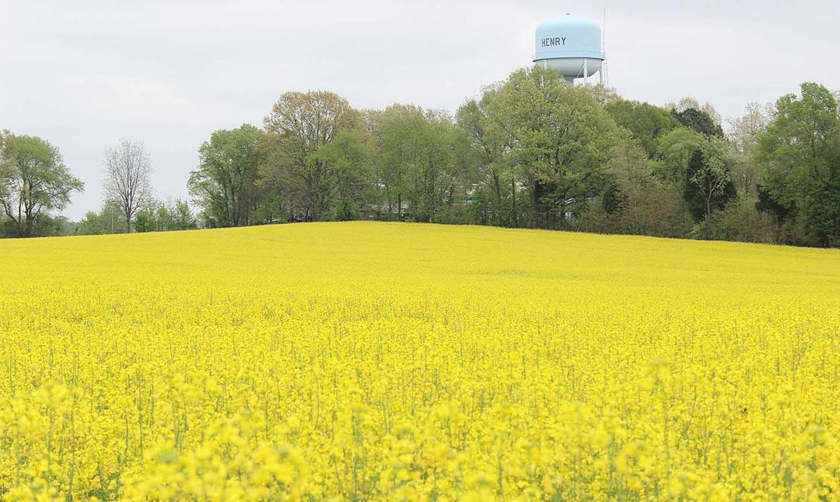 paris tn fields of gold canola new tosh farms project local news