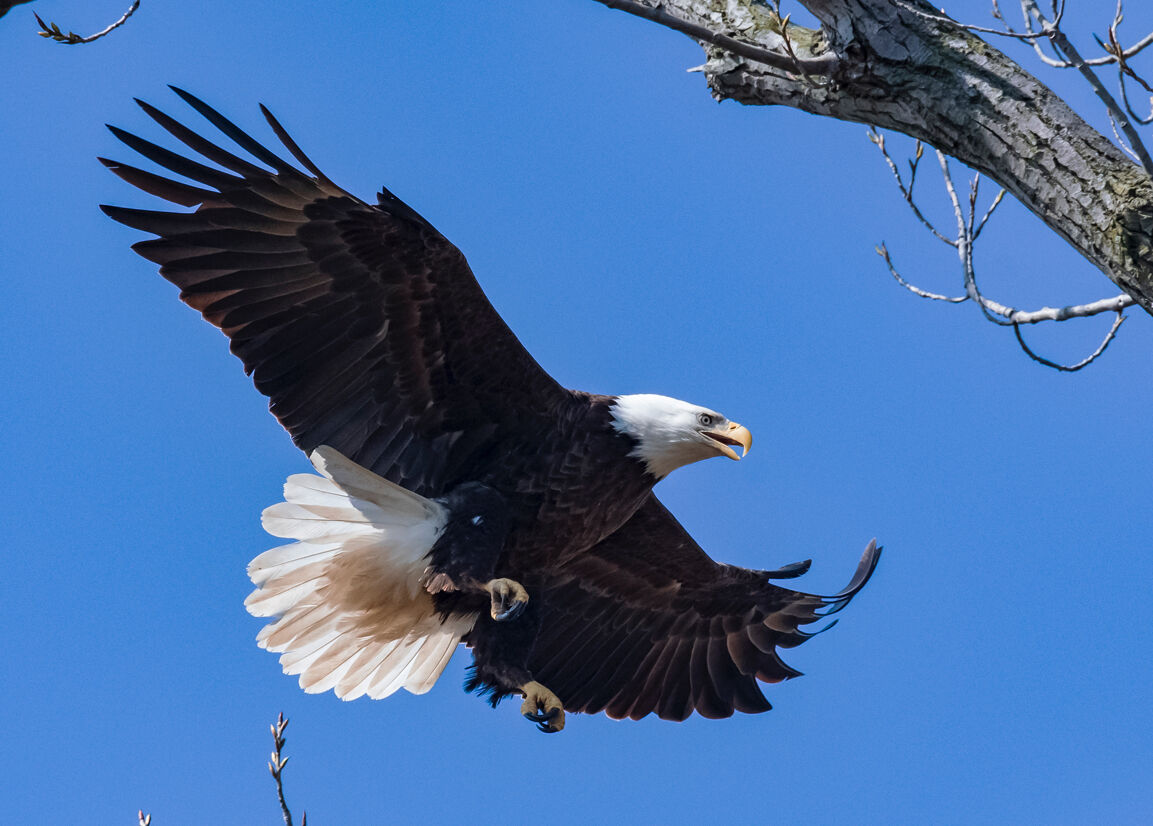 Eagle and waterfowl tours set next month at Reelfoot Lake