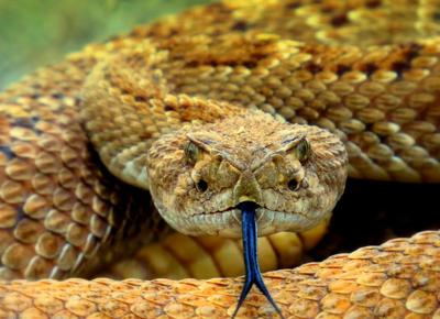 Be careful! Rattlesnakes are out and about | News | parkerpioneer net