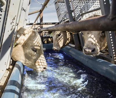 Research looks at cattle ranching