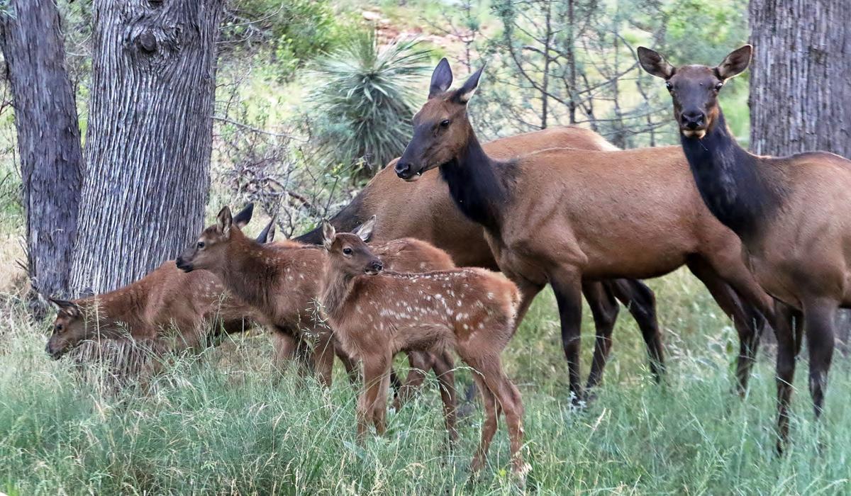 elk moms and babies
