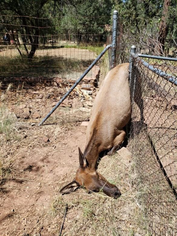 Pine column elk