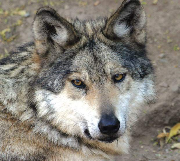 Mexican Gray Wolf meetings set for Aug. 5, 6