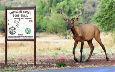 Elk hiking American Gulch Trail