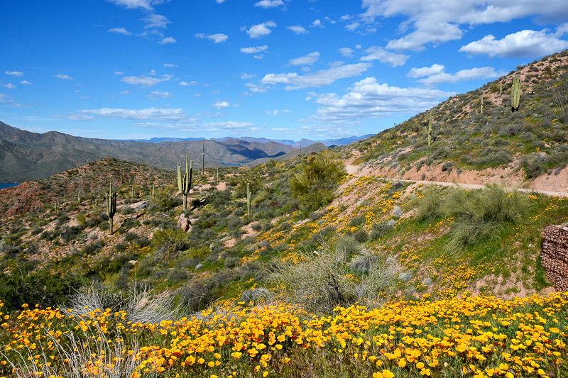Apache Trail poppies