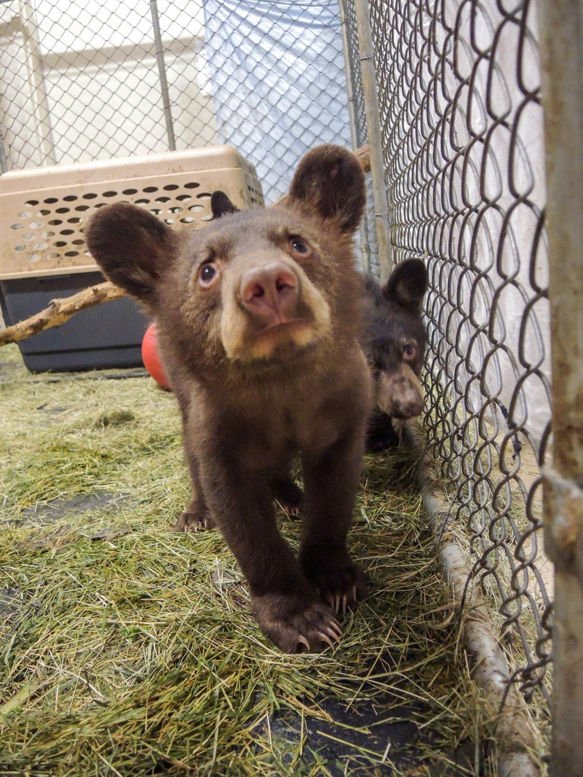 Bear cub orphans rescued by Southwest Wildlife Conservation Center