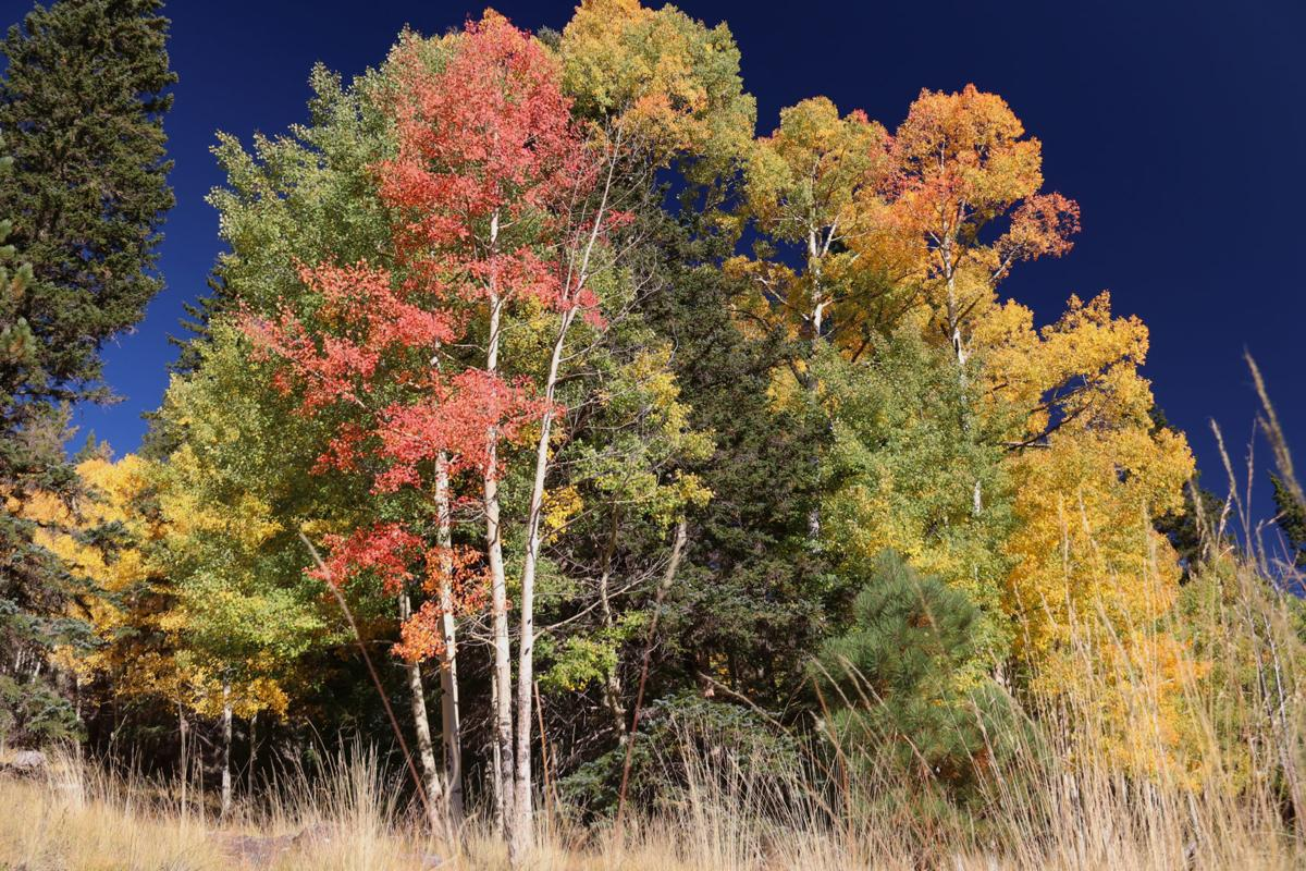 Maples, aspens and firs White Mountain fall 2019