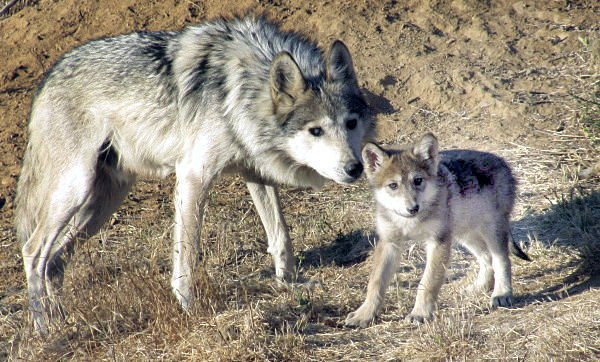 Mexican grey wolf and pup