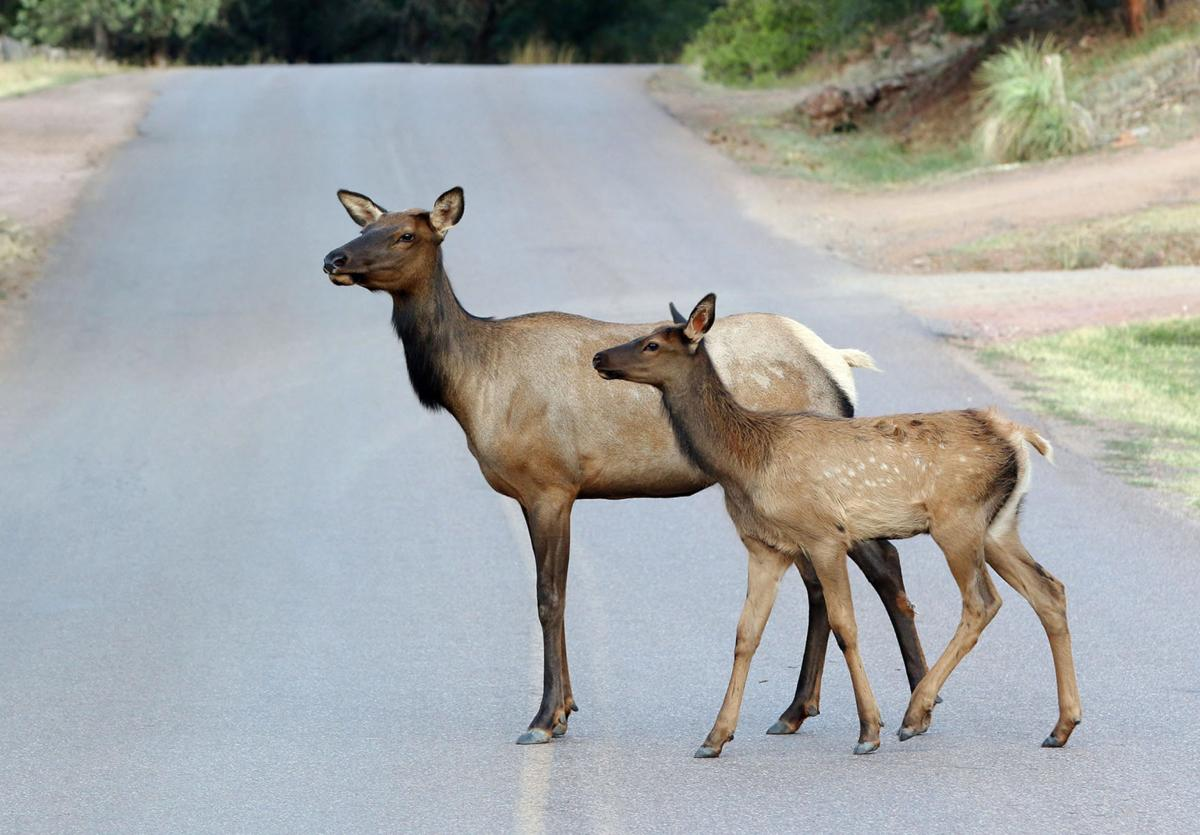Mother elk with baby on road