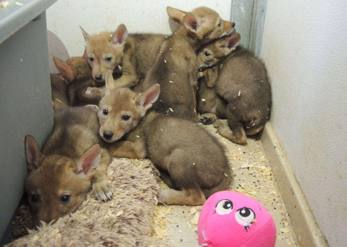 Coyote orphans rescued by Southwest Wildlife Conservation Center