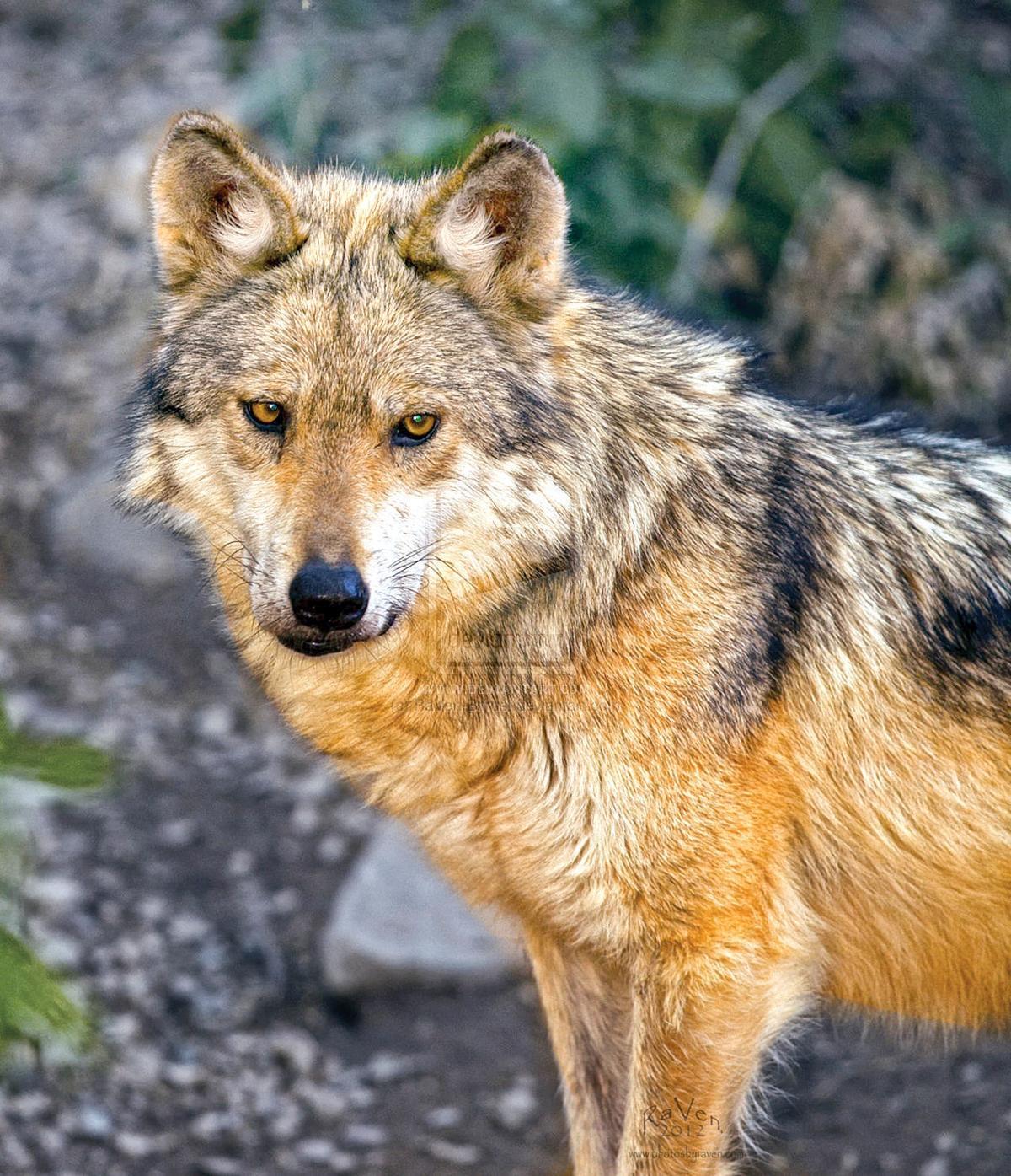 Mexican Grey Wolf depredations