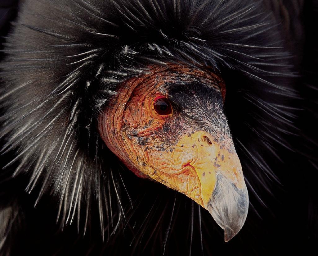 California condor 1