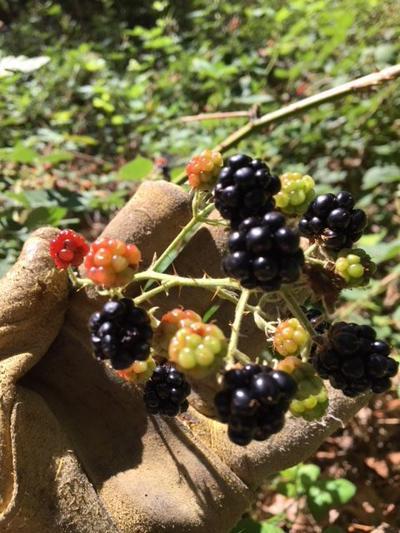 Blackerries By Dennis Pirch