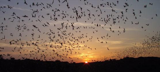 Mexican Freetailed bats leaving Carlsbad Caverns