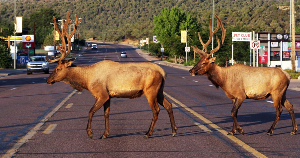 Payson elk: It's like they own the place | News