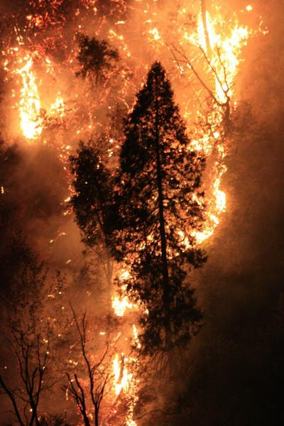 Rim Fire tree torch