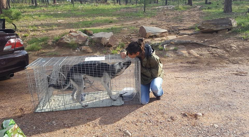 Angus in HARTT humane trap with owner Angela Casto