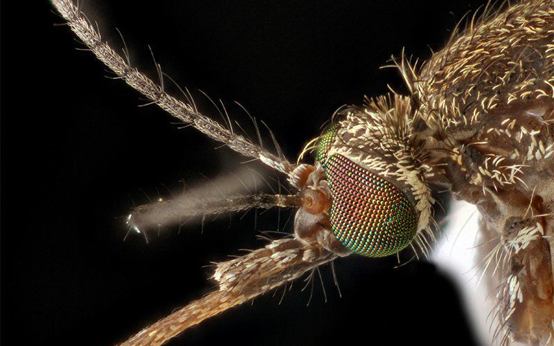 Culex mosquito can carry West Nile virus